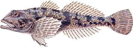 Głowacz białopłetwy